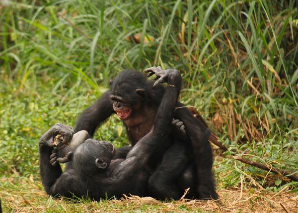 Секс с шимпанзэ